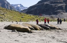 Elephant seals, South Georgia