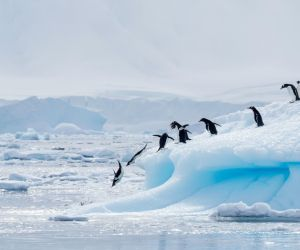 Gentoo and Adelie penguins